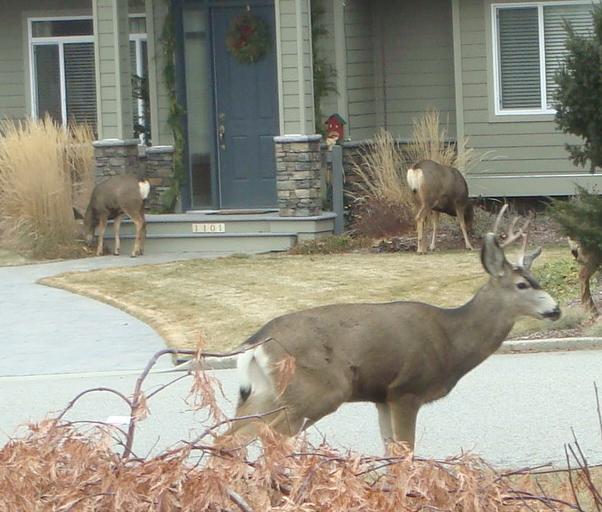 Deer as Lawn Ornaments