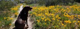 Jasper enjoys Mexican gold poppies