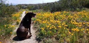 Jasper enjoys Mexican gold poppies